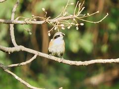 Long-tailed shrike (Birdwatcher18) Tags: longtailedshrike birds birder birding birdwatching birdwatcher nature birdonbranch birdontree shrike