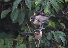 Tree Swallows (hoppedscott) Tags: bird birding outdoors nature surrey bc swallow treeswallow tachycinetabicolor