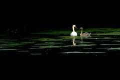 Together (Artwork) (Rind Photo) Tags: art artwork lightroomedit wildlife birds swans nikkor nikondf lowlight lowkey denmark love peace beautiful clauschristoffersen rindphoto flickr seascape dark reflections