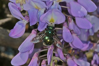 Peacock Carpenter Bee IMG_4503AA