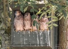Kestral Chicks (Ruth S Hart) Tags: kestral chicks wild essex nikon ©ruthshart