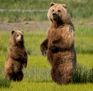 2018 Lake Clark National Park- Bears Standing Up (24)