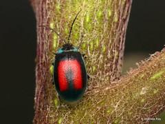 Leaf beetle, Aspicela bourcieri, Chrysomelidae (Ecuador Megadiverso) Tags: andreaskay aspicelabourcieri beetle birdwatcherslodge chrysomelidae ecuador leafbeetle mindo