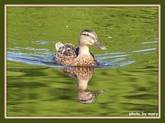 Mallard (maryimackins) Tags: mallard reflection wildlife mary mackins
