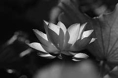 IMG_9771M 墨荷 (陳炯垣) Tags: blooming flower petal floral bud blossom lotus monochrome