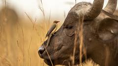 Nairobi-Nationalpark 04 (ovg2012) Tags: capebuffalo kaffernbüffel kenia kenya nairobinationalpark safari synceruscaffer