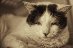 Shades of coffee -[ Happy Caturday ]- (Carbon Arc) Tags: happycaturday cat feline furball animal pet companion monotone shade photoshop nikcollection silverefexpro fuzzball