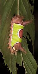 Saddleback Caterpillar Moth (drkilmer) Tags: myersville maryland unitedstates us