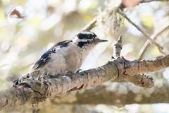 DSC_0782.jpg Hairy(?) Woodpecker, Schwan Lake (ldjaffe) Tags: schwanlake
