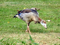 DSCN1279 Egyptian Goose (Alopochen aegyptiaca) (vlupadya) Tags: greatnature animal bird aves fauna egyptian goose alopochen paris france