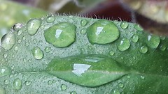 Smile after the rain... (markwilkins64) Tags: markwilkins waterdroplets droplets water leaf amusing funny smile face