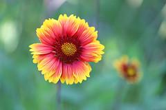 Gaillardia Arizona Sun (Through Serena's Lens) Tags: outdoor summer closeup colorful arizonasun gaillardia flowerhead petals plant botanical flora flower blooming dof bokeh canoneos6dmarkii 7dwf