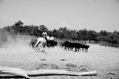 La Gardianne (Nowtorious) Tags: camargue bw bull horses france