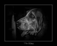 Olfactory supremacy (timgoodacre) Tags: bloodhound hound dog dogs doggy animal domesticanimal pet domestic canine olfactory ngc blackwhite blackandwhite black monochrome mono