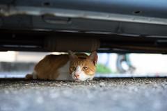 猫 (fumi*23) Tags: ilce7rm3 sony 55mm sonnartfe55mmf18za sel55f18z katze gato neko chat cat animal bokeh dof depthoffield a7r3 emount ねこ 猫 ソニー