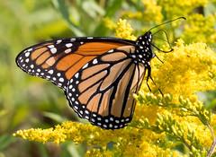 Monarch Butterfly and Goldenrod (vischerferry) Tags: monarchbutterfly butterfly insect goldenrod wildflower adirondackpark flora