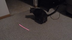 DSCN3245 (mestes76) Tags: 100617 duluth minnesota cats pets fetty fettucini cattoys laserpointer playing videos