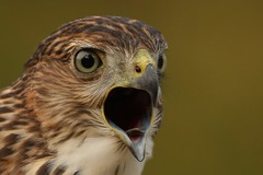 Juvenile Cooper's hawk (Guy Lichter Photography - 4M views Thank you) Tags: juvenile cooper'shawk hawks hawk birds bird animals animal wildlife winnipeg manitoba canada 5d3 canon