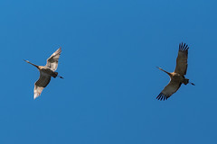 Horns in Flight (Angel Villanueva) Tags: alaska fairbanks aurora hyperborean thelastfrontier northernlights arcticcircle nature artistretreat alaskansummer sandhillcranes