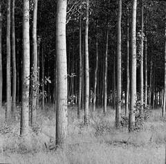 Boardman Trees {Explored, thank you} (Desert Sun Images) Tags: ilfordhp5 epsonv550 mamiyac220 mamiya180mmf35