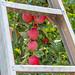 Washington Apples