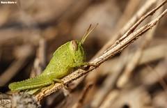 Hulk Hopper (Mauro Hilário) Tags: nature wildlife macro closeup portugal animal grasshopper invertebrate bug insect green
