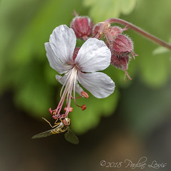 Hoverfly and Hardy Geranium (pollylew) Tags: closeup hoverfly zoomlens hardygeranium