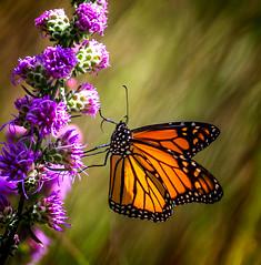 Lift-off (Portraying Life, LLC) Tags: dbg6 da3004 hd14tc k1mkii michigan pentax ricoh unitedstates butterfly closecrop handheld nativelighting leonardspreserve meadow flower