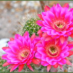 Summer Cactus Flowers thumbnail
