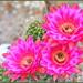 Summer Cactus Flowers