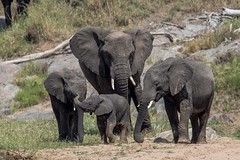 Elephant family in the northern Serengeti (Patrick Gregerson) Tags: 2018 africa august canon5dmarkiv serengeti sigma150600mm tanzania magnificent nationalpark outdoors outside wildlife elephants lowresolution family inspiring endangered loxodontaafricana