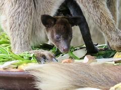 PNG 2018 (Valerie Hukalo) Tags: kangourou kangoroo marsupial png papuanewguinea papouasienouvelleguinée portmoresby hukalo valériehukalo asie asia kangaroo pacifique naturepark