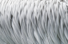 A day at the zoo - Feathers of a Dalmatian pelican (Pelecanus crispus) (JustJan) Tags: exif:focallength=600mm exif:isospeed=400 geocountry exif:make=nikoncorporation geocity geostate exif:aperture=ƒ10 exif:lens=15006000mmf5063 exif:model=nikond850 camera:model=nikond850 camera:make=nikoncorporation zoo blijdrop rotterdam eye feathersbw zwart wit nikon feathers pelican