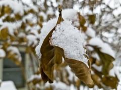 Leaf Snow Cone (jamesouverson) Tags: snow leaf snowfall winter brown white