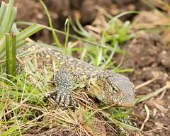 Scaly (Nagarjun) Tags: monitorlizard reptile nairobinationalpark kenya eastafrica wildlife waterbody animal safari gamedrive savannah