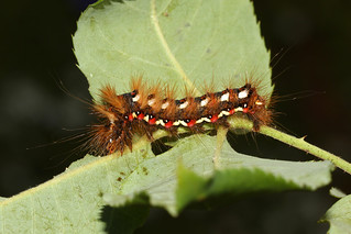 Knot Grass - Acronicta rumicis larva