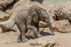 Zuli (ToddLahman) Tags: umzulazuli zuli ndula elephants elephant elephantvalley elephantbaby africanelephant beautiful portrait mammal male outdoors photooftheday canon7dmkii canon canon100400 canonphotography sandiegozoosafaripark safaripark escondido
