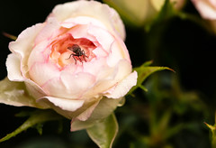 Blooming (Klummen) Tags: rose pink garden blooming fly nikond750 nikkor105 white