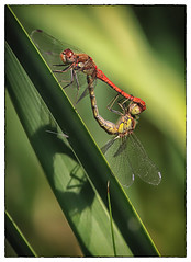 Dragonflies (brian_stoddart) Tags: natural nature insects background colours green shadow wildlife light