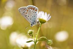 Common blu (Lt_Dan) Tags: commonblue butterfly farfalla bokeh nature natureshot natura naturephotography animal macro alpago