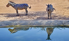 Front and side view portrait with prison clothing. (gerard eder) Tags: world travel reise viajes europa europe españa spain spanien valencia bioparc zoo zoologico tiere tierpark animals animales zebras cebras reflections spiegelung wasser water outdoor