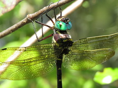I love the eye color and wings (Usagi93190) Tags: dragonfly insect macro proxi lettuce lake park tampa forida outdoors nature