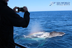Curious whales (Sea World Whale Watch) Tags: seaworldwhalewatch seaworldwhalewatching seaworld seaworldcruises sea humpbackwhale humpbackwhales humpback humpbacktailfluke humpbacktailflukes goldcoastwhalewatching goldcoast goldcoastwhalewatchingtours goldcoastwhalewatch goldcoastskyline breach breaching breachingwhale whalebreaching whalebreach breathing adultwhales australia whalewatching whalewatchinggoldcoast whalewatchingtoursaustralia whaletail whale humpbackwhaletail pod largepod whalepods whalepod superpod pods