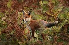 Dorset Fox. (farrertracy) Tags: fox summer heathland red green brown bracken dorset