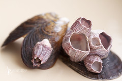 118in2018 #38 from the sea (Karen Juliano) Tags: shells sea fossil nature seacreature calcium carbonate