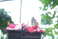 Super-Takumar 50mm f:1,4 _IMG_1072 (Paul Zilvanus Lonan) Tags: flower macro butterfly manuallens vintagelens classiclens supertakumar50mmf14 50mmlens