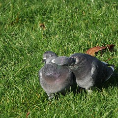 What Cha Want (jeremydalee) Tags: pigeon pigeons park bird