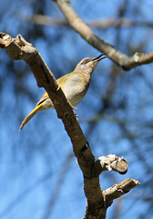 Brown honeyeater 007 (DMT@YLOR) Tags: brown honeyeater bird canon 700d sing singing little tiny grafton newsouthwales australia aussie nature wildlife sky blue branch twig