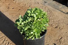 Aeonium arboreum 5g -bg SKU 1001-724-797
