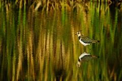 DSC08572 - Lapwing (steve R J) Tags: lapwing blue house farm ewt reserve north fambridge essex birds british reflection